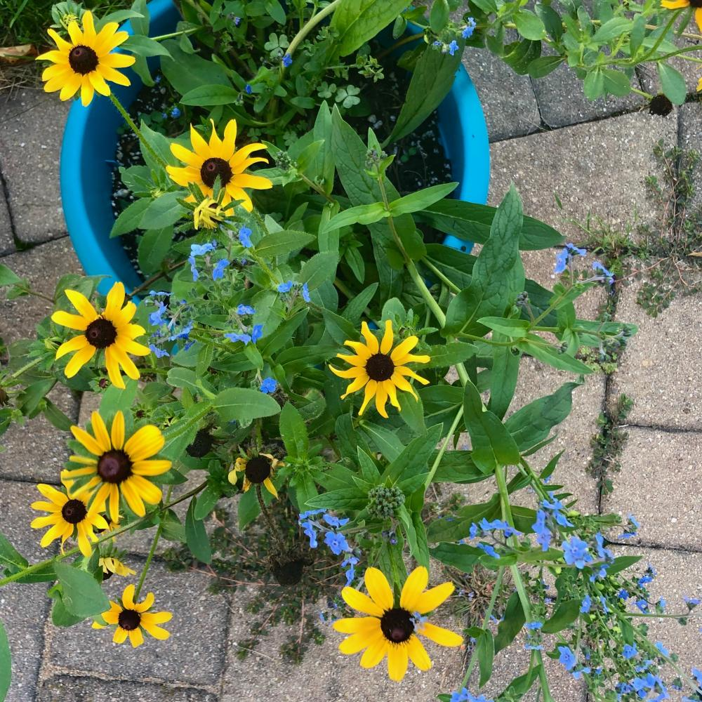 black eyed susans and forget me nots 2