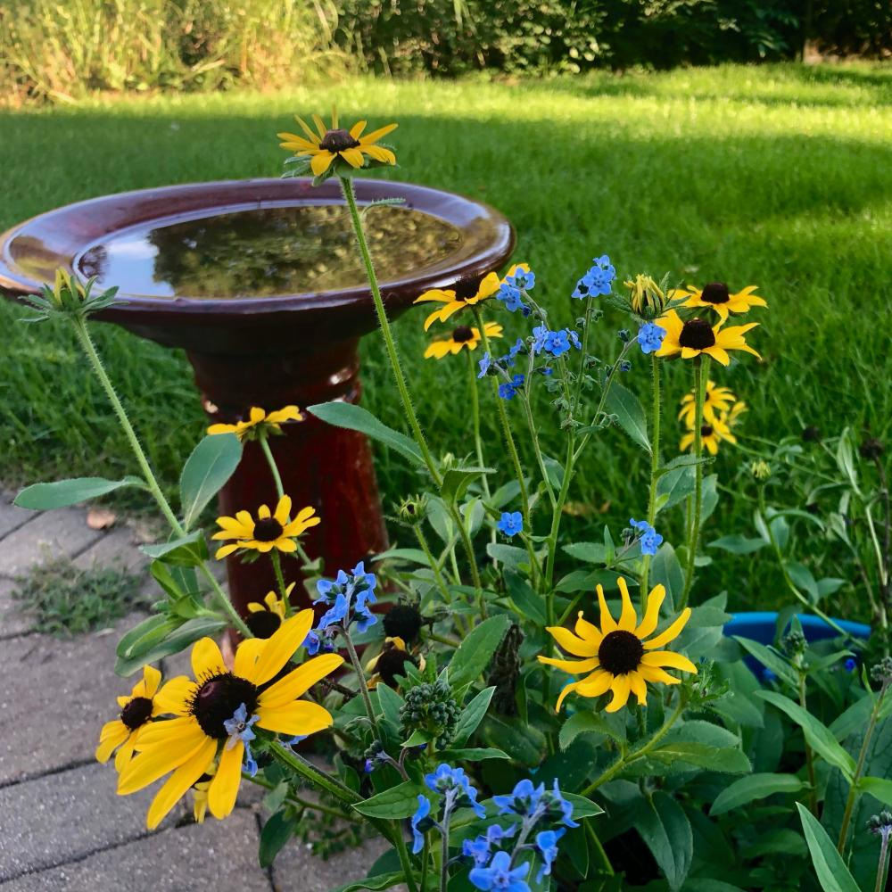 black eyed susans and forget me nots 3