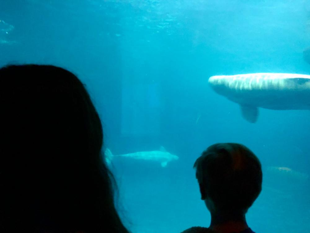 Silhouettes and beluga whales