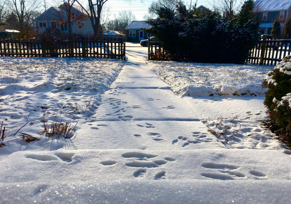 Yesterdays snowy critter prints 1