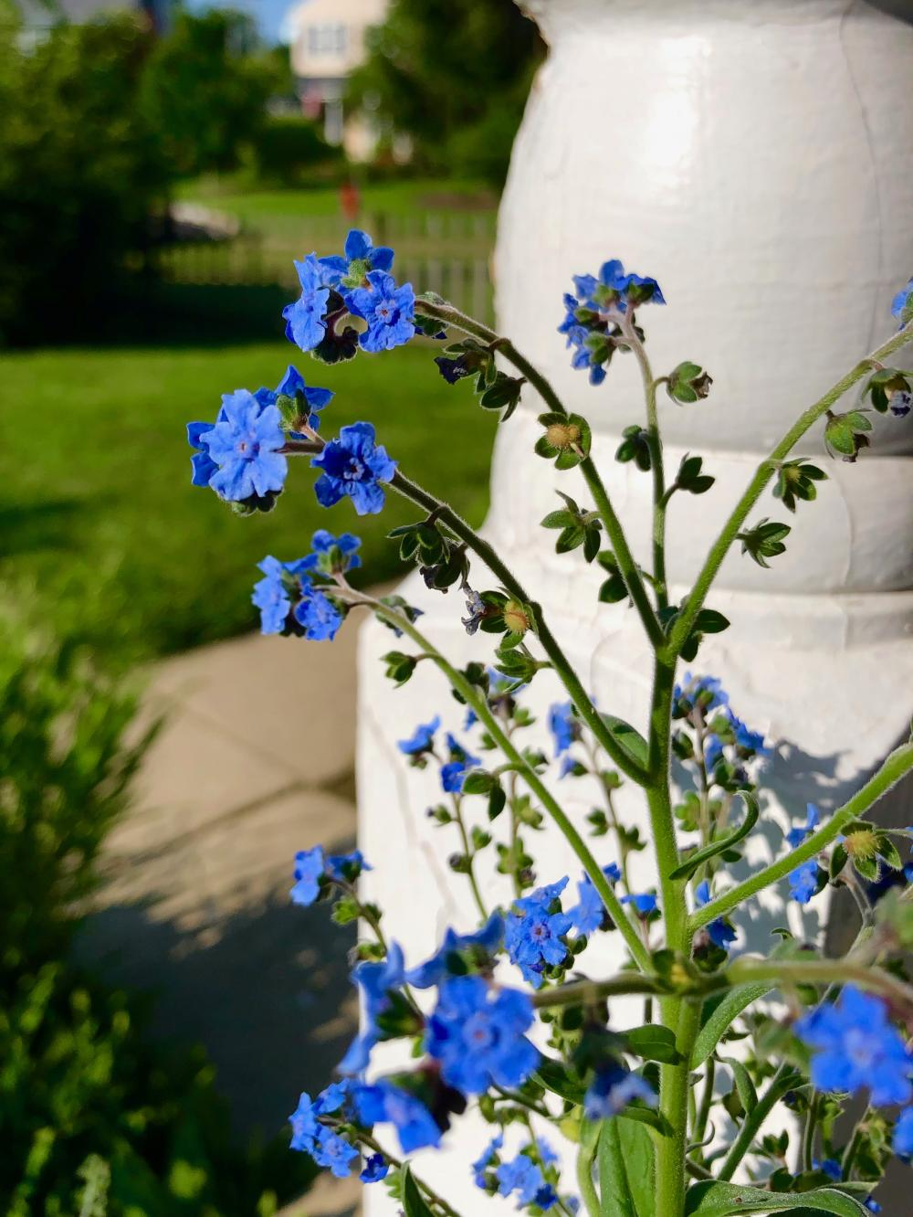 Forget Me Not flowers in full bloom