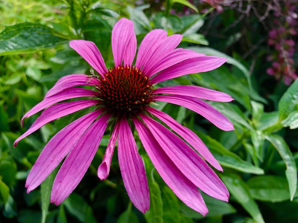 A coneflower for Sunday