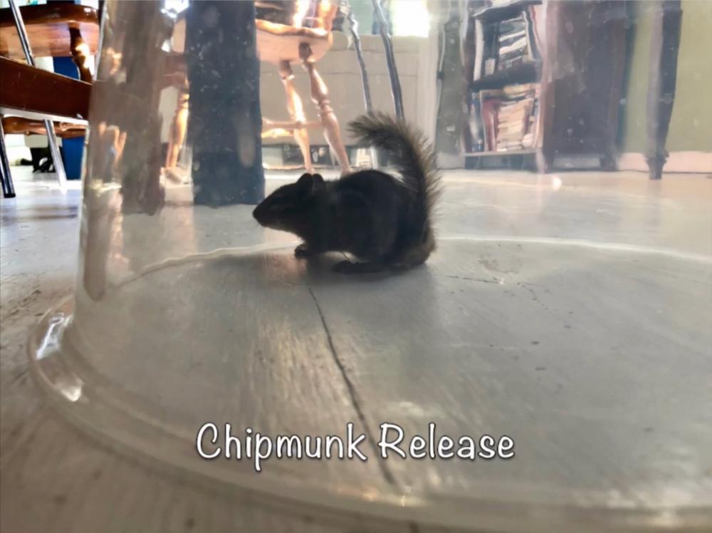 Chipmunk Release