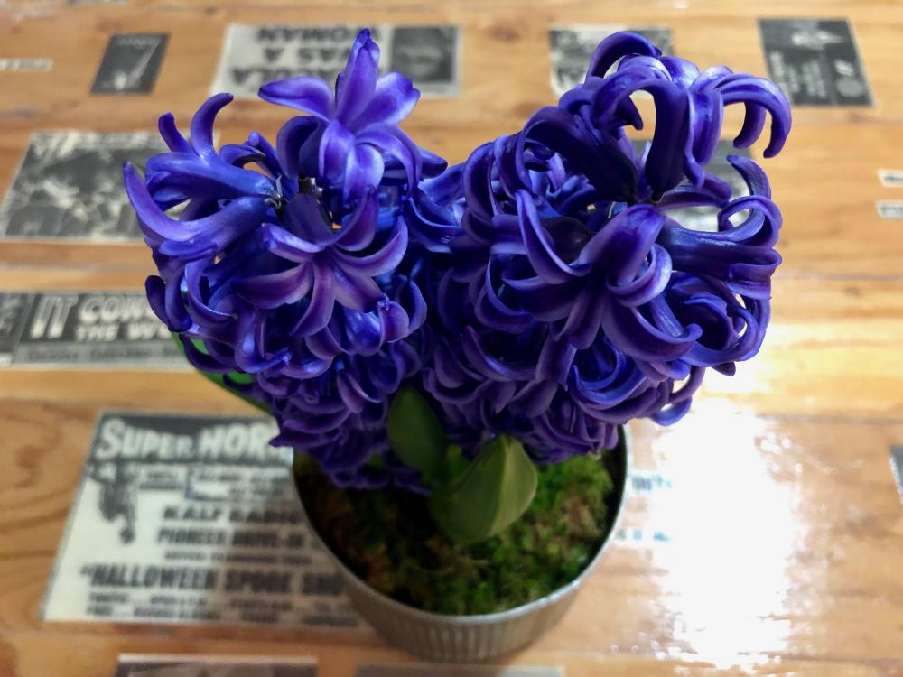 Hyacinths on the table