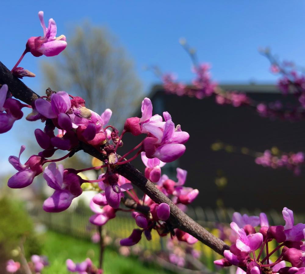 Redbud still going strong