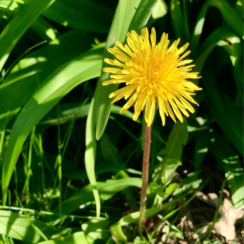 The only dandelion I havent killed 1