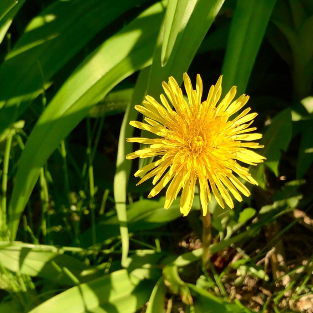 The only dandelion I havent killed 2