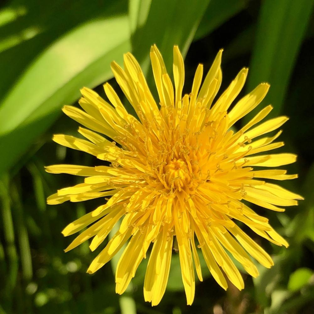 The only dandelion I havent killed 3