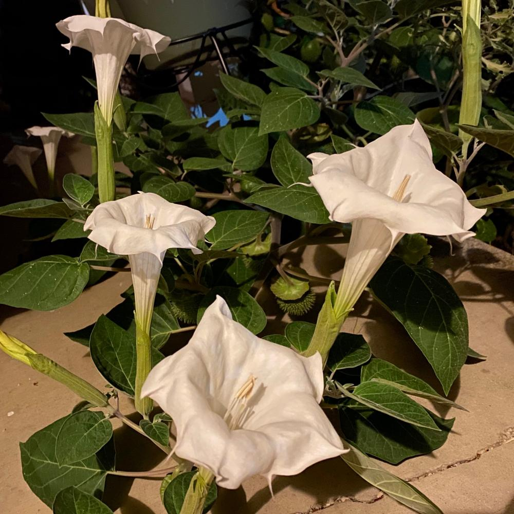 I love these white trumpet looking guys
