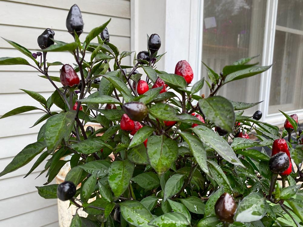 Pepper plant with a kiss of rain
