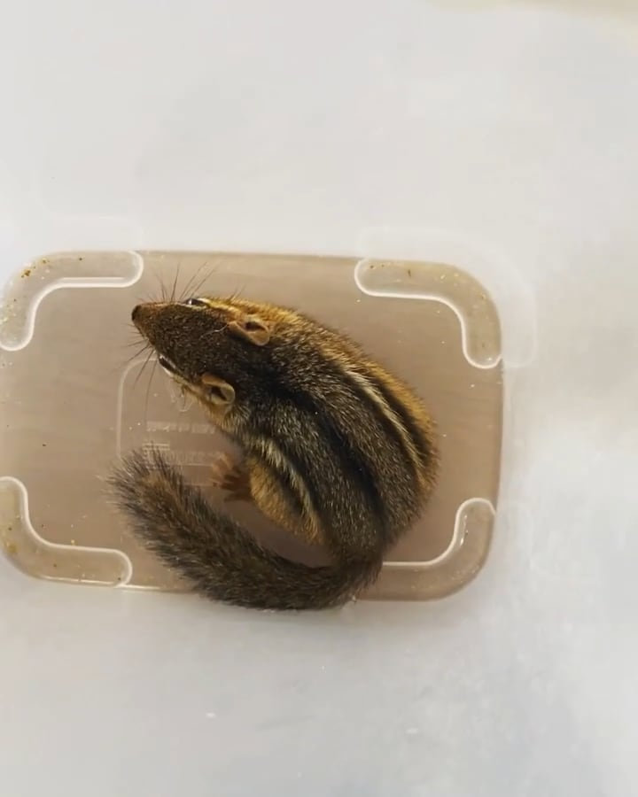 Yet another chipmunk release